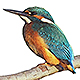 Mrs Moore - Kingfisher