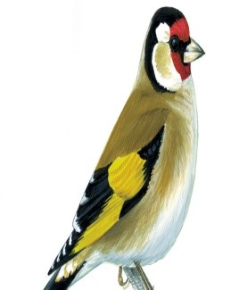 Miss Cresswell - Goldfinch